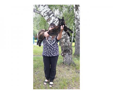 Котята Мейн Кун от огромных, красивых, породных родителей!