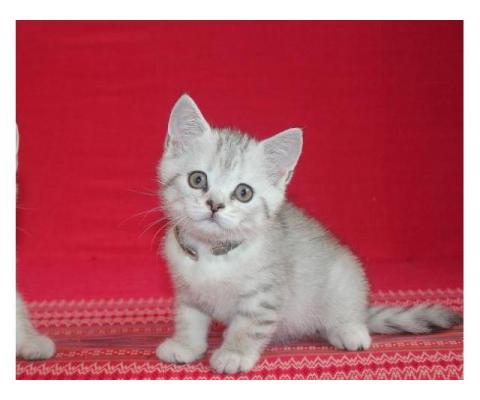 Роскошный котёнок (мальчик)