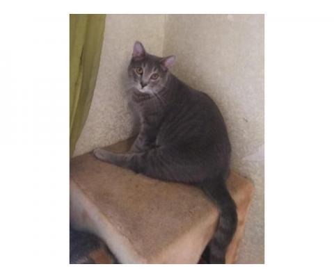 В дар светло-серый  котик Савушка