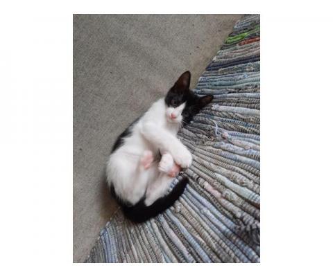 Черно-белые котята ищут лучшего хозяина