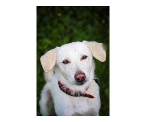 Белый Бим… розовый нос Метис лабрадора в дар