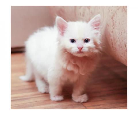 Шикарные котята в дар!