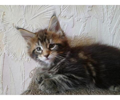 Очаровательные котята породы МЕЙН КУН !