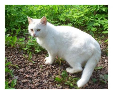 Белая кошечка в заботливые руки