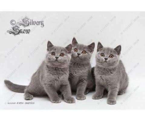 Голубые плюшевые британские котята из питомника