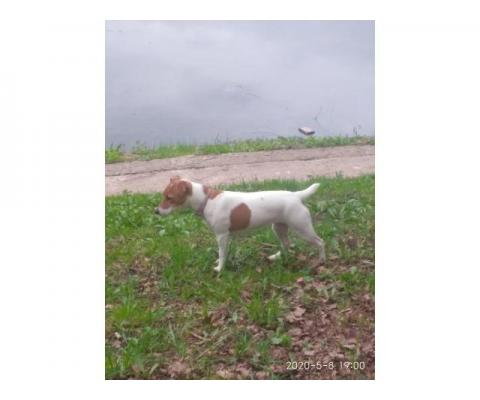Пропала собака Джесси. Дмитровский район, Ермолино