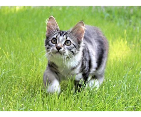 Малыш Тимошка, чудесный полосатый котенок в добрые руки