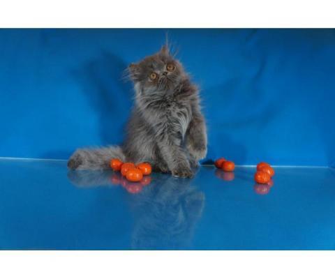 Персидские и экзотические котята от титулованных родителей