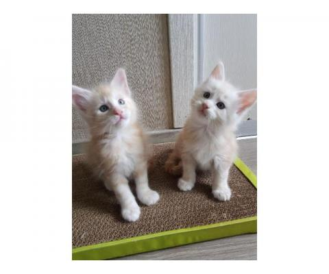 Мейн-кун шикарные котята ждут вас !!!