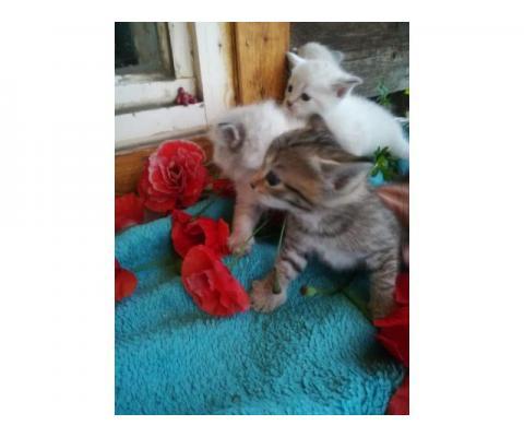 Отдам  двух последних Бирманских котят(девочки)