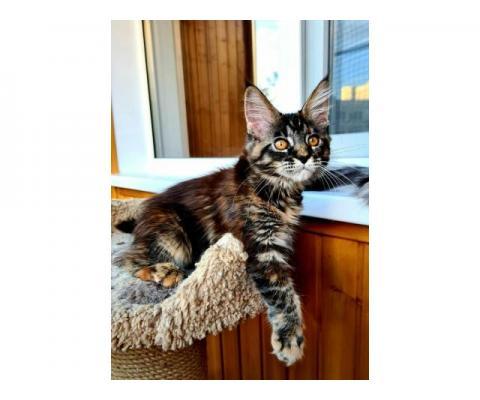 Предлагаются шикарные котята породы Мейнкун
