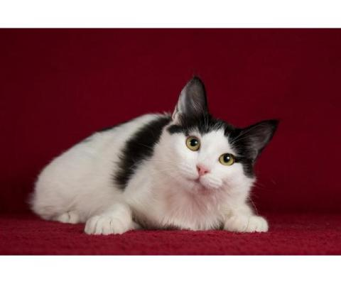 Ищет дом котенок турецкого вана Маня