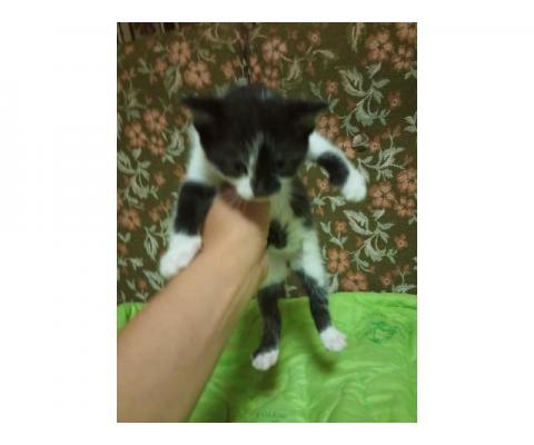 Красивые котята 1,5 мес в добрые руки