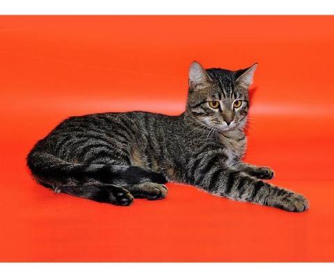 Господин Суперпозитив Кевин, молодой домашний полосатый котик в дар