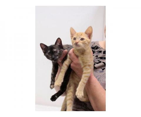 Таша и Даня - котята самых дефицитных цветов )