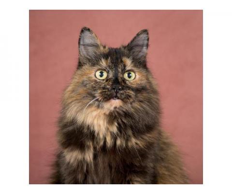 Сибирская кошка Биатрисс в дар