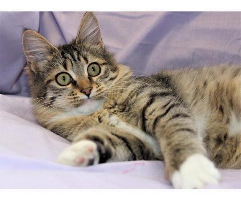 Бесподобный домашний котенок Герда в добрые руки