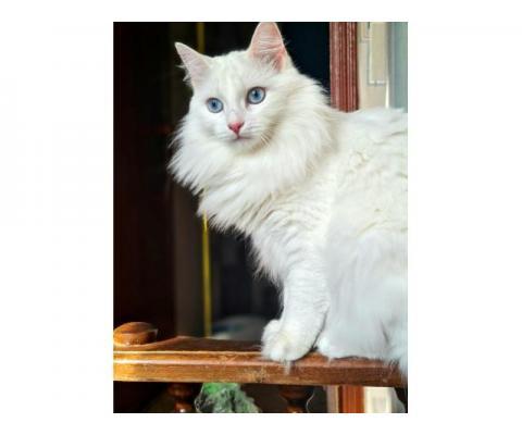 Кошечка Белка ищет добрых и заботливых хозяев.