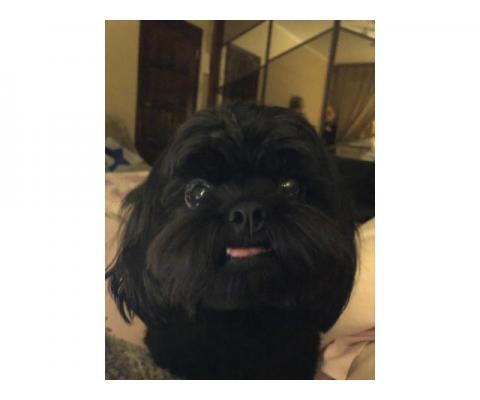 Пропала собака - черный кобель ши-тцу