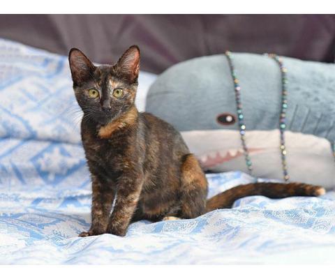 Черепаховое чудо Асенька, ласковый домашний котенок в добрые руки