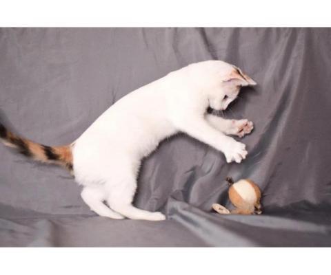 Искристая котенок Зефирка в дар.