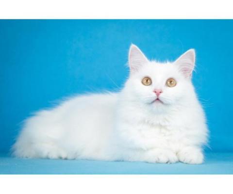 Ласковая белая ангорская кошка Ласточка.