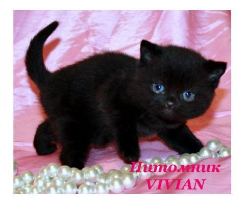 Британские клубные черные котята из питомника.