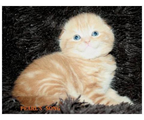 Красные мраморные скоттиш фолды и страйты котики