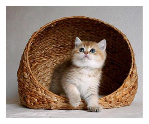Британские котята самых модных и редких окрасов!