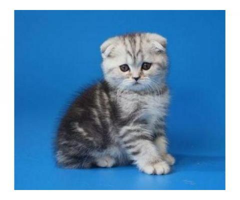 Красивые шотландские котята