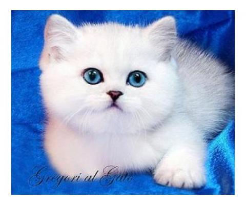Британские шиншиллы голубоглазые котята