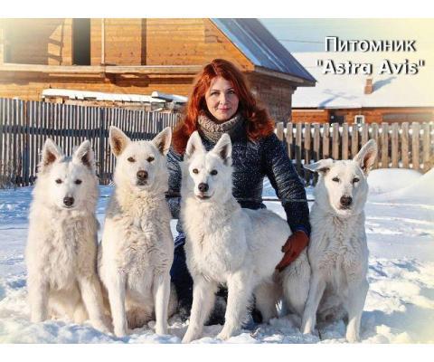 Девочки Белой Швейцарской овчарки от питомника Астра Авис