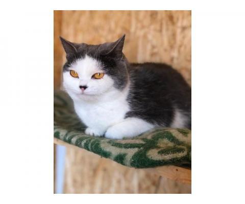 Потрясающая красивая чистоплотная кошка Хлоя в дар