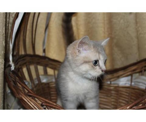 Золотые и голубое золото британские котята