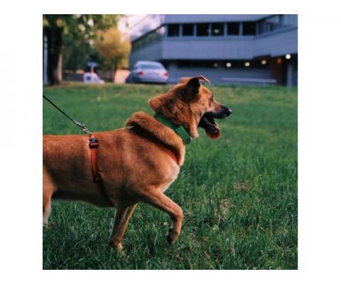 Фрея - собака ищет дом