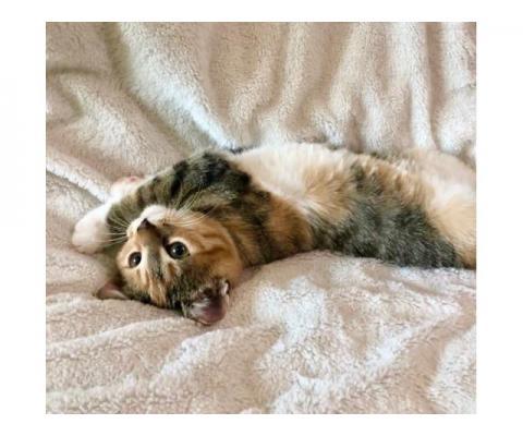 Удивительная и неповторимая котёнок Тиффани в ответственные руки.