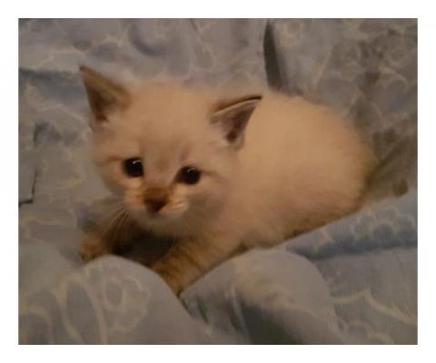 Очень маленькие  котята, возраст – 1  месяц,  ищут хозяев