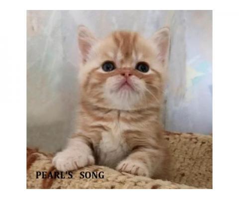 Элитный шотландский котик, ярчайший красный мраморный