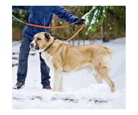 Благородный Босс, молодой пес породы алабай в добрые руки