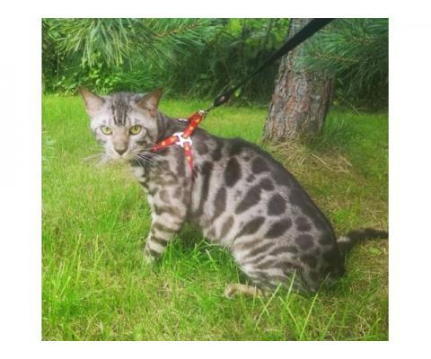 Бенгальский кот для Вязки