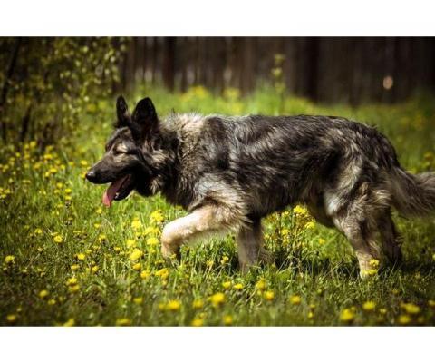 Маугли, очаровательный метис овчарки в дар!