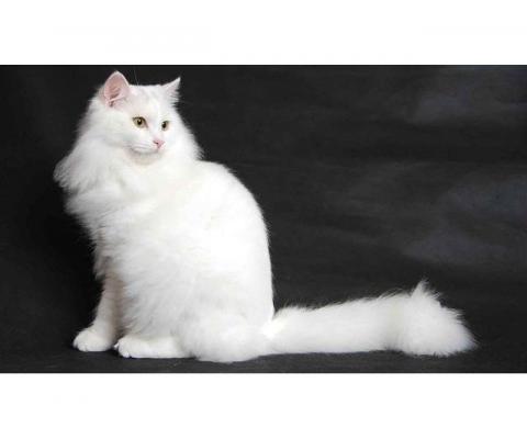 Белоснежное чудо кошка Беллочка в дар