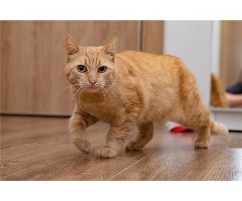 Рыжая кошка в добрые руки.