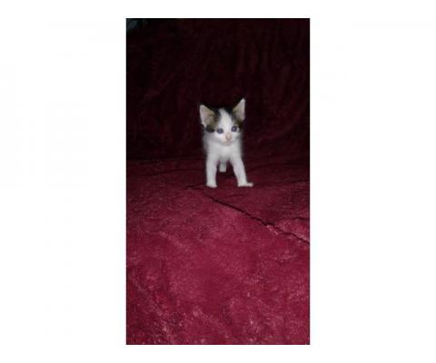 Котенок Майя в дар, рождена от домашней кошки
