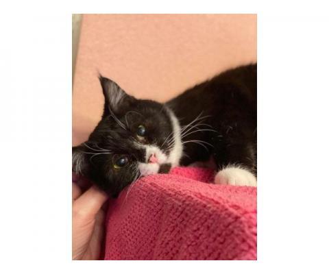 Котенок с кисточками на ушках Макс в дар