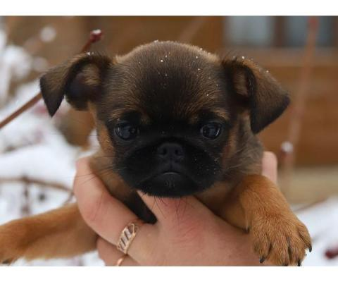 Великолепные щенки пти-брабансона ждут Вас