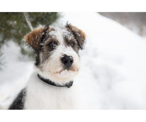 Очаровательный бородатый щенок Арчи от мамы лабрадора