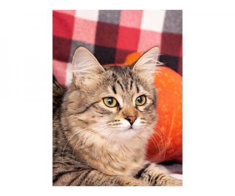 Полосатое очарование, домашний котенок-подросток Дафна в добрые руки