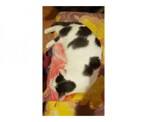 Котик коровка ищет добрый дом
