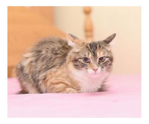 Трехцветная кошечка Тося ищет дом